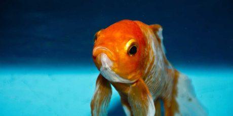 Cold fish goldfish?