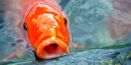 Feeding pond fish